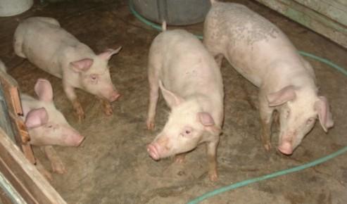My piglets